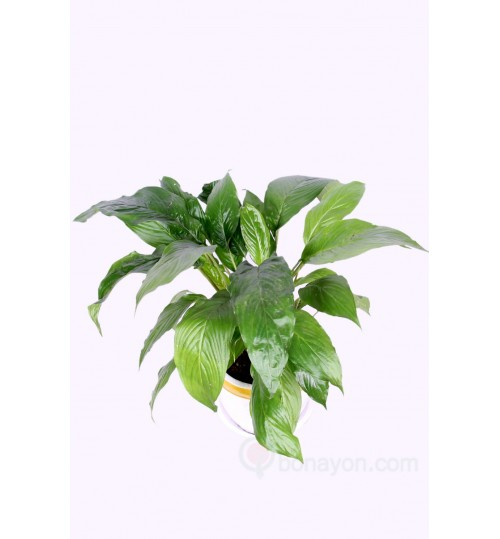 PEACE-LILY-LOCAL-INDOOR-PLANT-GOLDEN-WHITE-PLANTER
